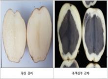 [안동]봄 재배용 씨감자, 흑색심부증상 예방을 위한 관리 요령
