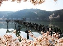 [안동]봄을 맞아 안동 월영교에도 벚꽃이 만개